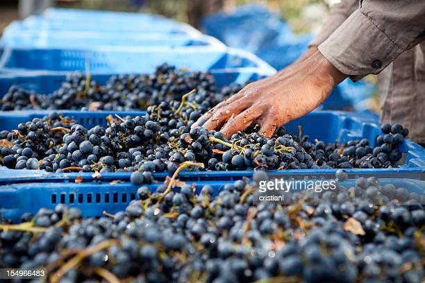 Récolte des raisins