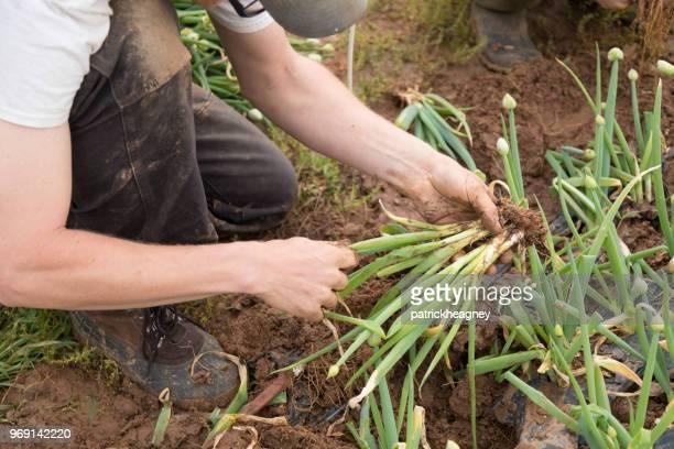 青ネギの収穫 - ネギ ストックフォトと画像