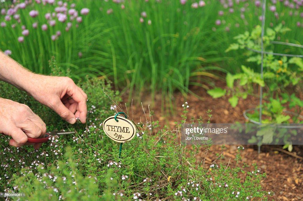 Harvesting Herbs : Stock Photo