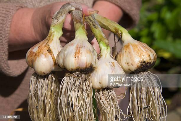 harvesting home grown garlic, wirral, england mr pr - cabeza de ajos fotografías e imágenes de stock