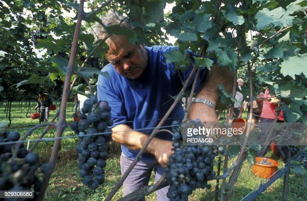 Harvesting in Cantina Simoncelli Rovereto Trentino Italy