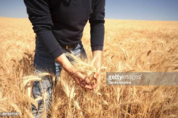 シチリア島で収穫