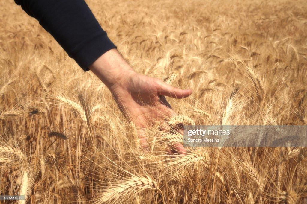 Harvesting in Sicily : Stock Photo