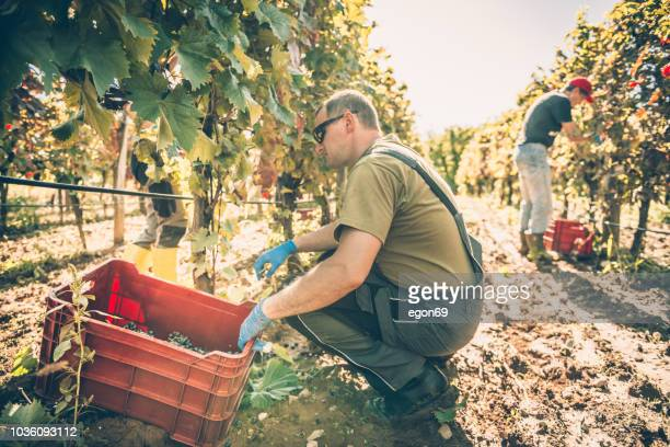 harvesting in vineyard - wine harvest stock pictures, royalty-free photos & images