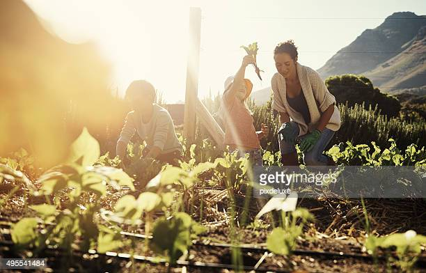harvesting is a labor of family love - agricultural occupation stock pictures, royalty-free photos & images