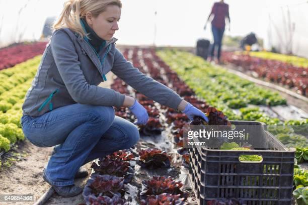Harvesting lettuce in greenhouse