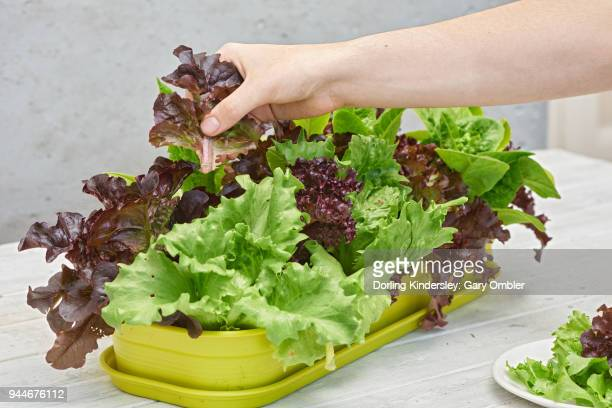 Harvesting lettuce leaves by hand