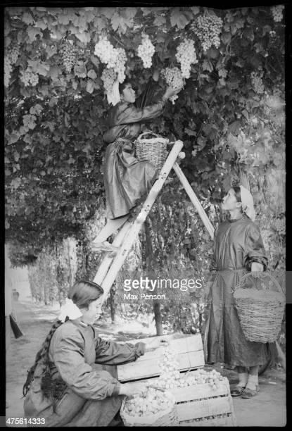 Harvesting of grapes Tashkent area 1940's50's Uzbekistan