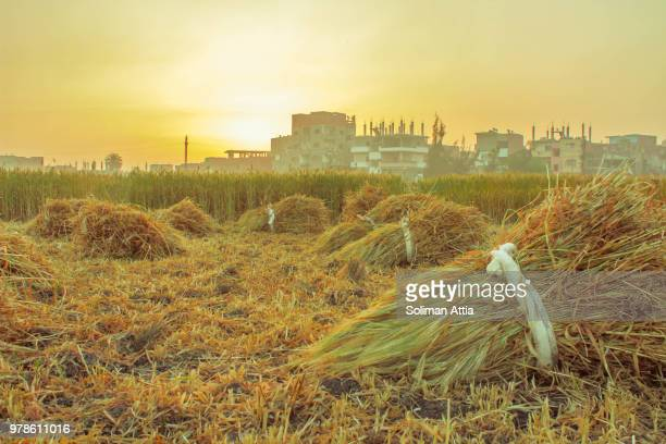 harvesting - north africa stock pictures, royalty-free photos & images