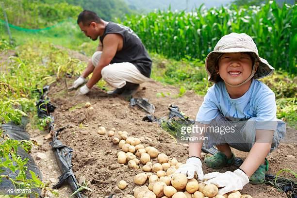 Harvesting  potato