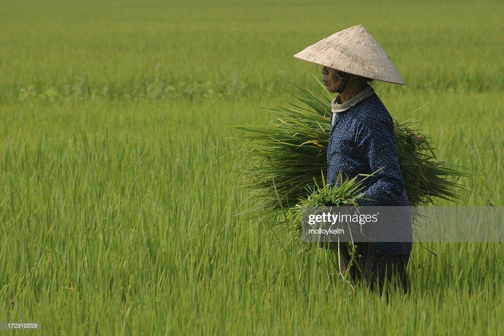 Harvesting Rice, Vietnam : Stock Photo