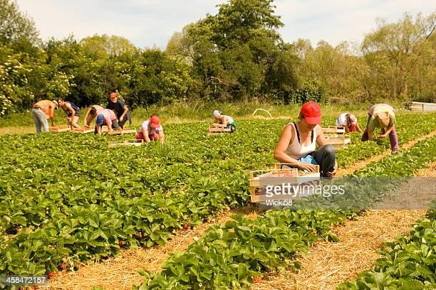 harvesting season - plukken stockfoto's en -beelden