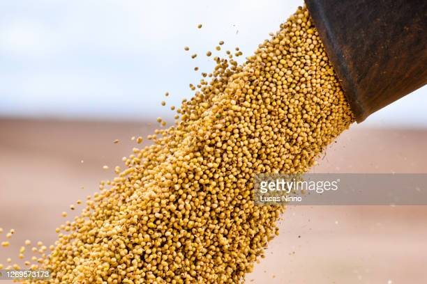 harvesting soybean - unloading soybean - 積荷を降ろす ストックフォトと画像