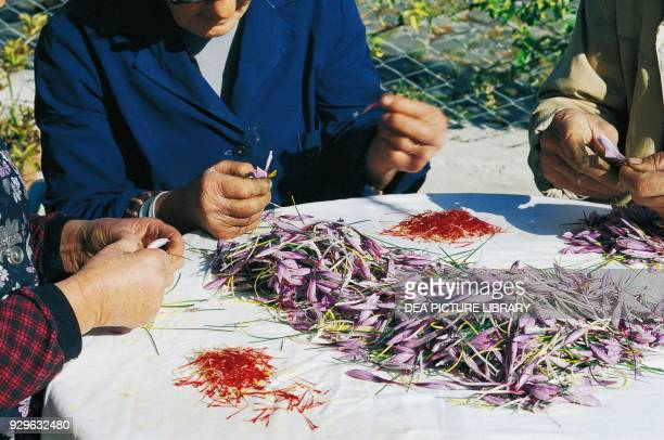 Harvesting stigmas from Crocus sativus flowers for saffron Prata d'Ansidonia Abruzzo Italy