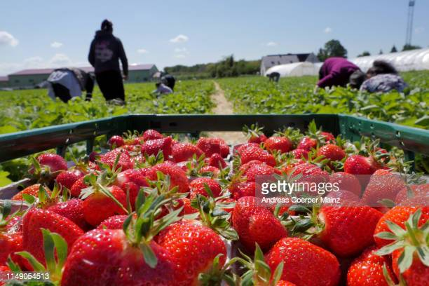 harvesting strawberries - picking harvesting stock pictures, royalty-free photos & images
