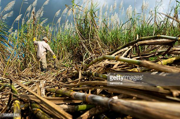 harvesting sugarcane - harvesting stock pictures, royalty-free photos & images
