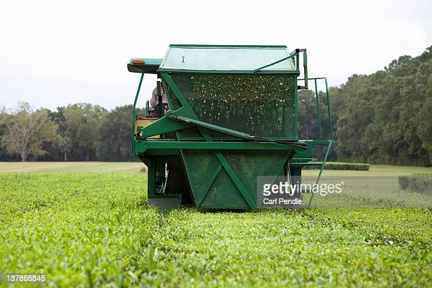 Harvesting tea at a Tea plantation