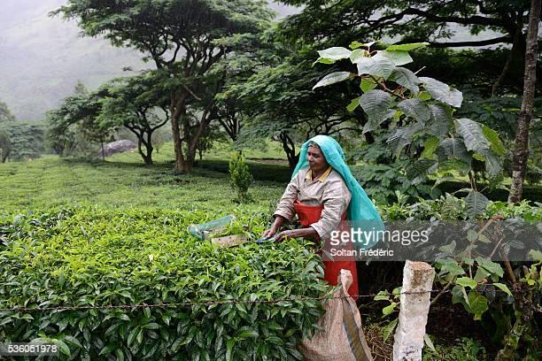 Harvesting tea in Kerala