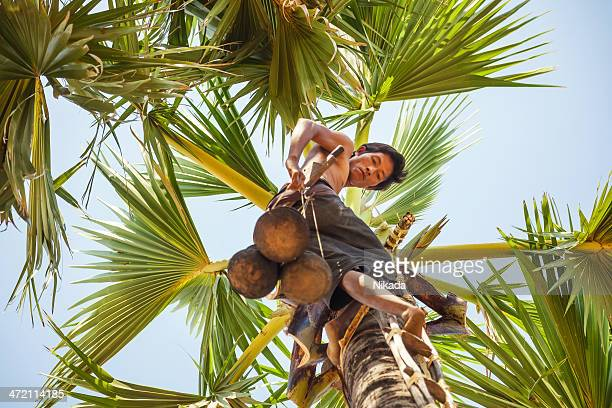 Harvesting the toddy palms