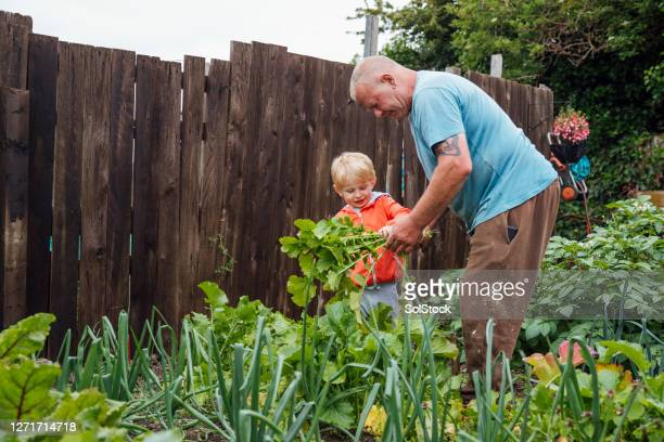 harvesting the turnips - self sufficiency stock pictures, royalty-free photos & images