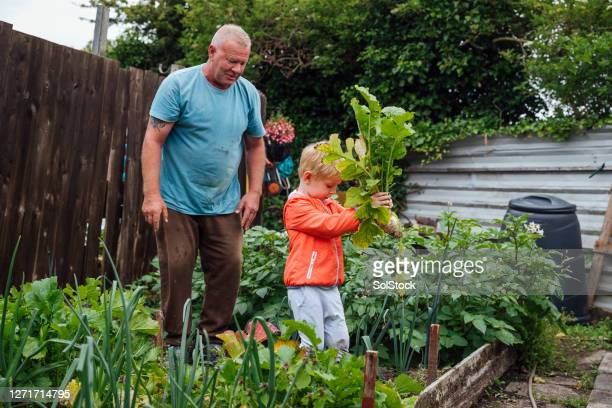 harvesting the turnips with my uncle - nephew stock pictures, royalty-free photos & images