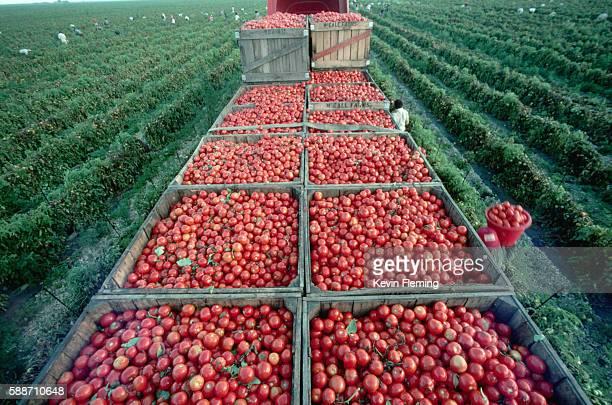 Harvesting Tomatoes in Florida