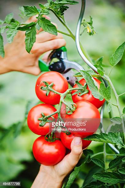 Harvesting Tomatoes