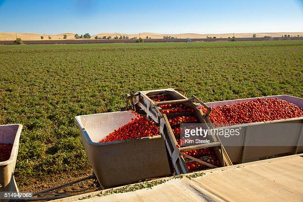 harvesting tomatoes - tomato harvest stock pictures, royalty-free photos & images