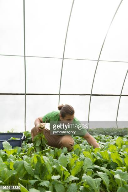 harvesting turnips - vertical stock pictures, royalty-free photos & images