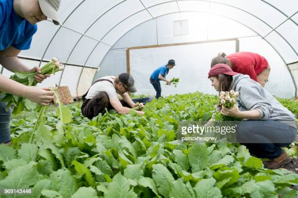 harvesting turnips - turnip stock pictures, royalty-free photos & images