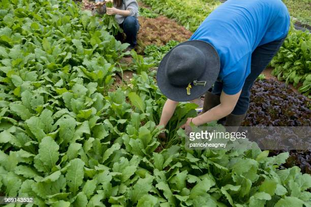 harvesting turnips - brassica rapa stock photos and pictures