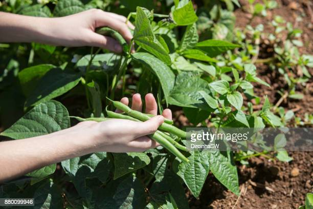 harvesting vegetables in  garden. - bush bean stock photos and pictures