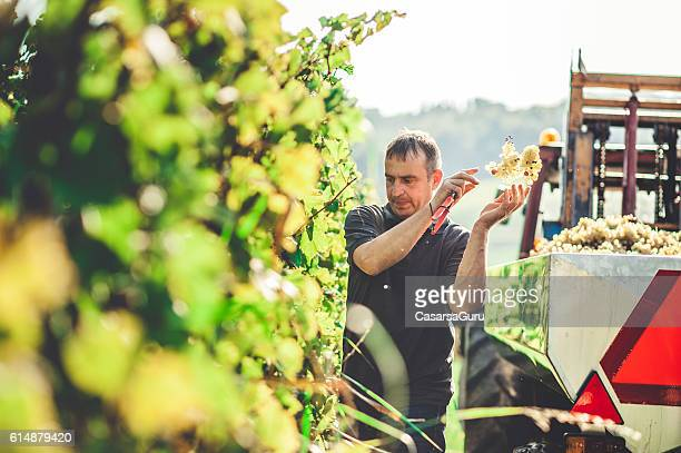 Harvesting White Grape