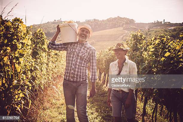 harvesting white grapes - grape harvest stock pictures, royalty-free photos & images