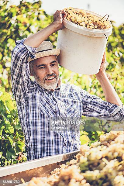 Harvesting White Grapes