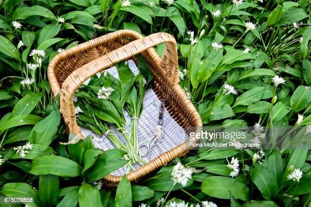 harvesting wild garlic - foerageren stockfoto's en -beelden