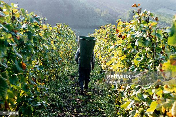 Harvesting Wine Grapes near Moselle River