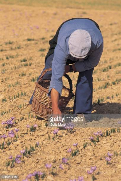 'Harvests of the saffron' Collection of the saffron Consuegra Toledo ´Harvests of the saffron´ Collection of the flowers of the saffron very...