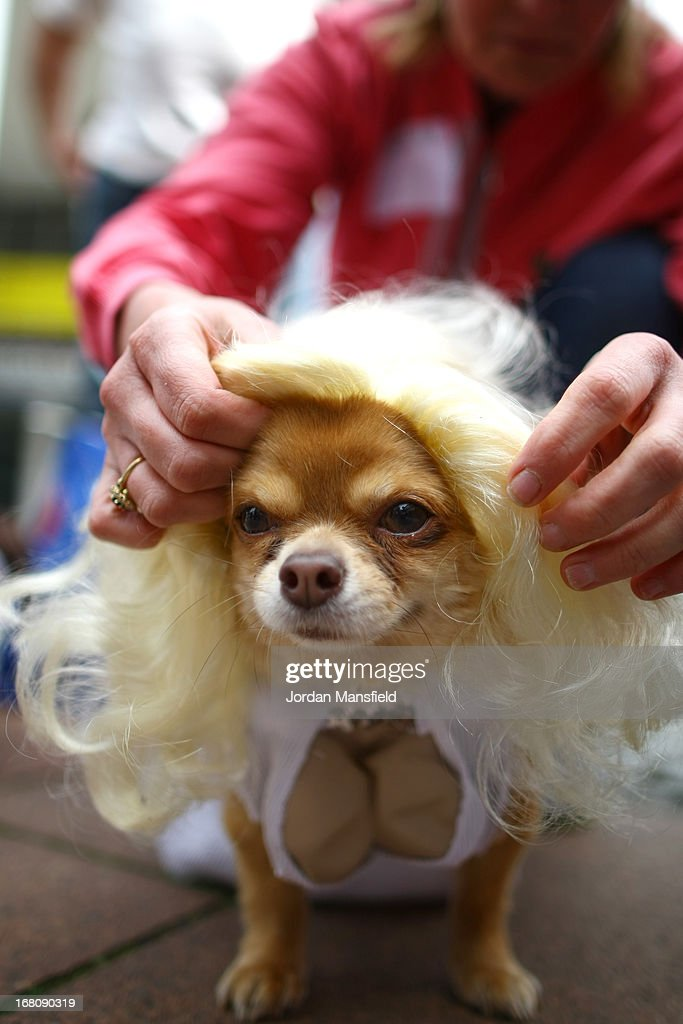 Harvey, a long-haired Chihuahua is dressed up as Marilyn Monroe on May 5, 2013 in London, England. Enthusiasts gathered at the Picture House in Stratford to parade their dogs dressed up as famous Sci-Fi characters as part a London-wide event called Sci-Fi London.