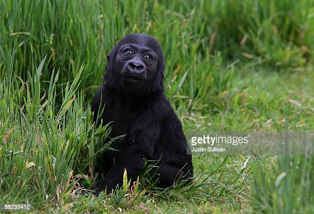 Hasani a six monthold Western Lowland Gorilla sits in the grass in a gorilla exhibit during his first public viewing at the San Francisco Zoo June 5...