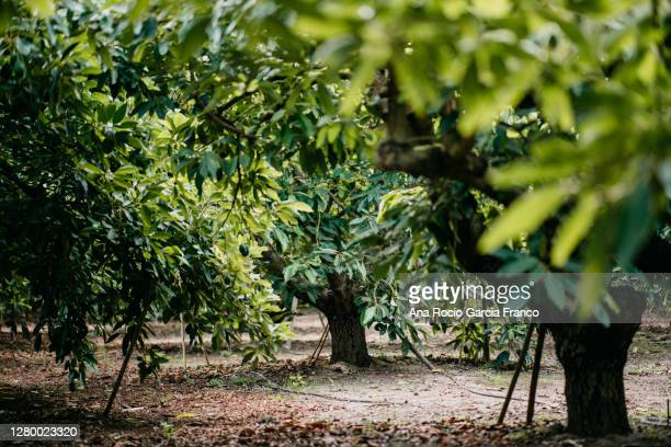 hass avocados field - food state stock pictures, royalty-free photos & images