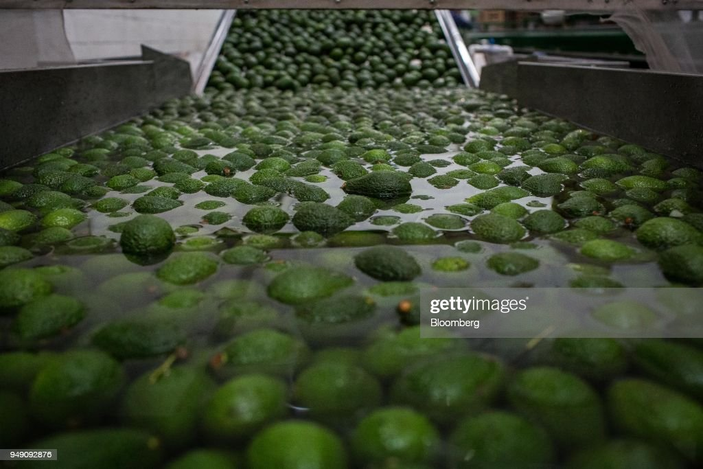 Avocado Farming And Harvest As Colombia Releases Trade Balance Figures