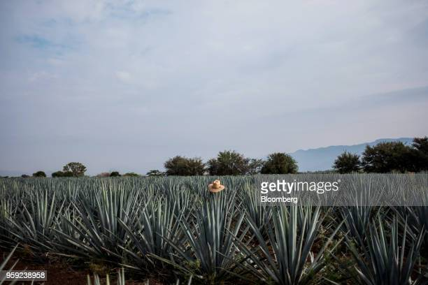 A hat sits on a blue agave plant at the Becle SAB Jose Cuervo farm in the town of Tequila Jalisco state Mexico on Thursday May 3 2018 Jose Cuervo...