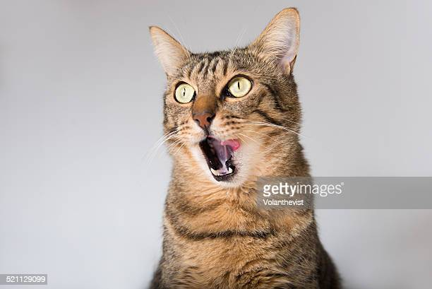 hat with tongue out, licking his mouth - fat cat stock photos and pictures