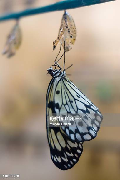 hatching butterfly - hatching stock pictures, royalty-free photos & images