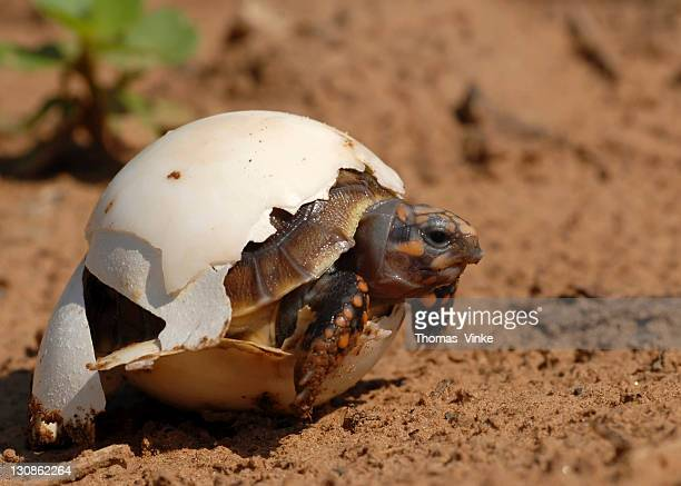 hatching red-footed tortoise (red-footed tortoise), gran chaco, paraguay, south america - hatching stock photos and pictures