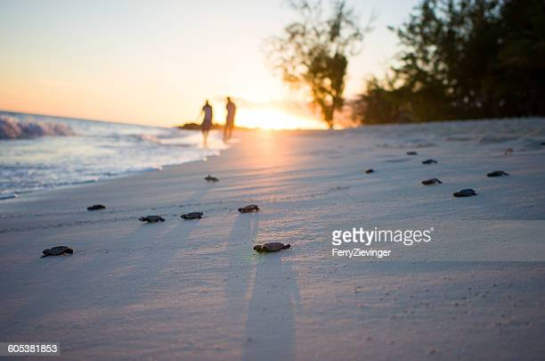 Hatching turtles on the beach at sunset, Barbados, Caribbean