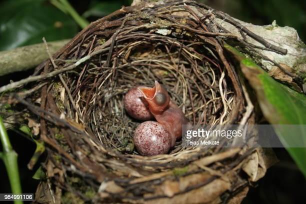 hatchling in the coffee woods - dierennest stockfoto's en -beelden