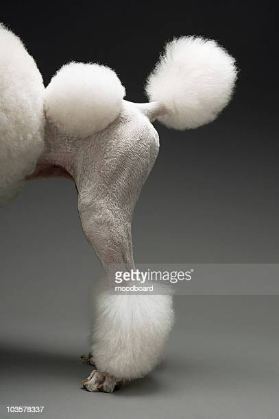 Haunches of Poodle, on grey background
