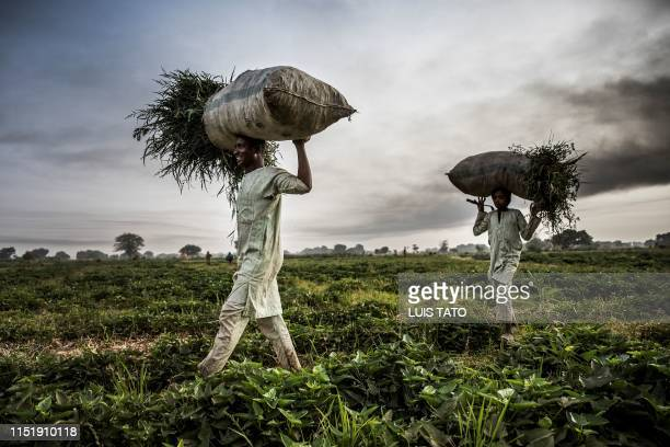 Hausa Fulani farmer and his son work at a farm in the outskirts of Sokoto, Sokoto State, Nigeria on April 22, 2019. - Massive expansion of farming in...